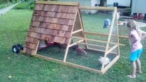 Finished chicken tractor with chickens